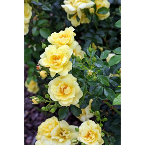 Flower carpet rose gold mightylinksfo
