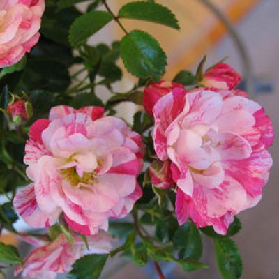 Flower Carpet Rose, Pink Splash