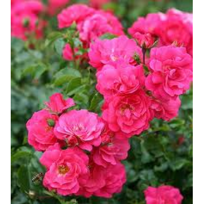 Flower Carpet Rose, Pink