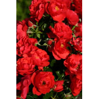 Flower Carpet Rose, Scarlet