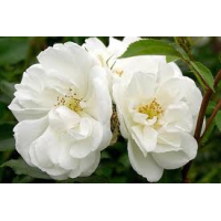 Flower Carpet Rose, White
