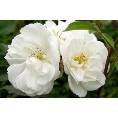 Flower Carpet Rose, White