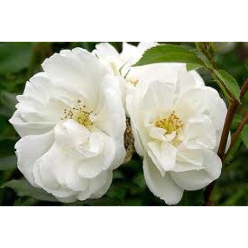 Flower carpet rose white mightylinksfo
