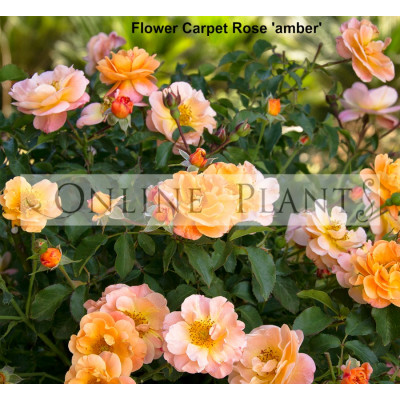 Flower Carpet Rose, Amber