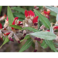 Gastrolobium Celsianum, Swan River Pea  (syn: Brachysema)