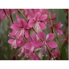 Gaura Lollypops Butterfly Bush