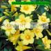 Gelsemium sempervirens, yellow jessamine