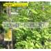 Gingko Biloba Maidenhair Tree