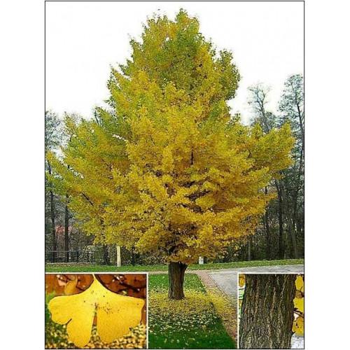 Gingko Biloba Maidenhair Tree For Sale Online Plants Australia
