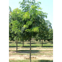 Gleditsia Triacanthos Shademaster