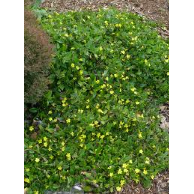 Goodenia Ovata Gold Cover