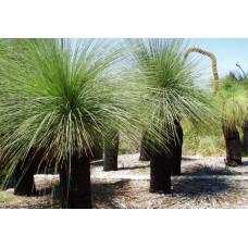 Xanthorrhoea Grass Tree
