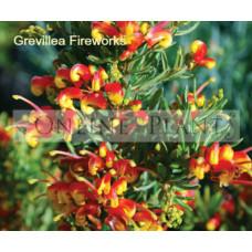 Grevillea Fireworks