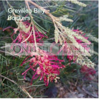 Grevillea Billy Bonkers