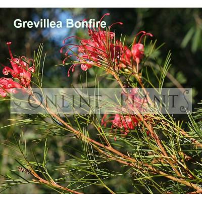Grevillea Bonfire