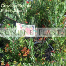 Grevillea Bonnie Prince Charles