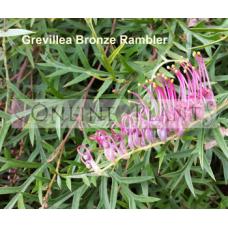 Grevillea Bronze Rambler
