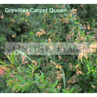 Grevillea Carpet Queen