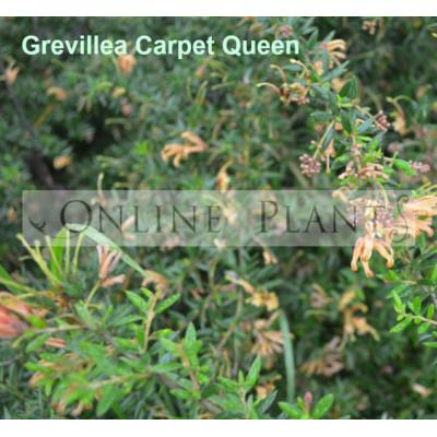 Grevillea Carpet Queen