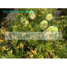 Grevillea Lemon Daze