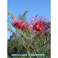 Grevillea Lollypops