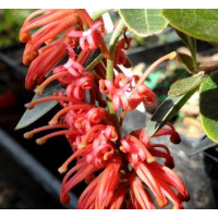 Grevillea Murray Valley Queen