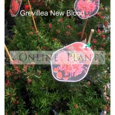 Grevillea New Blood