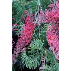 Grevillea Pick of the crop