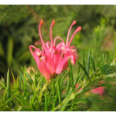 Grevillea Pink Pearl