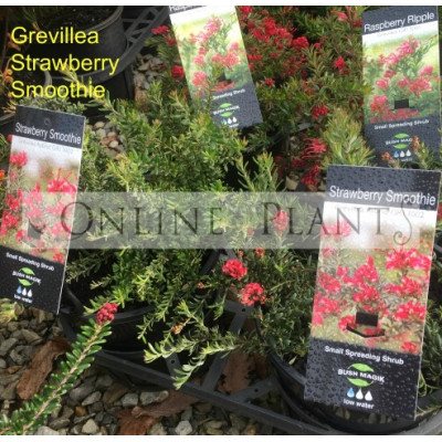 Grevillea Strawberry Smoothie