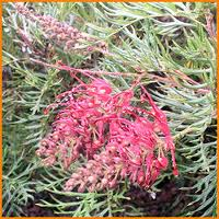 Grevillea Strawberry Sundae