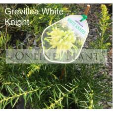 Grevillea White Knight