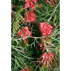 Grevillea thelmaniana Red Wings