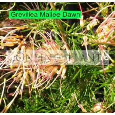 Grevillea Mallee Dawn