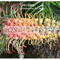 Grevillea Strawberries and Cream
