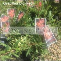 Grevillea Big Red