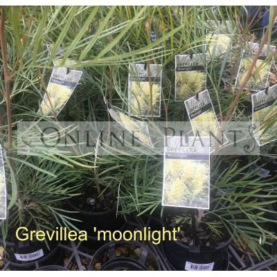 Grevillea Moonlight