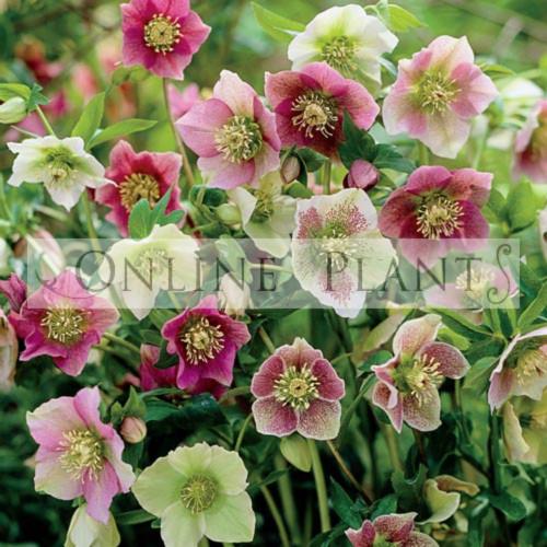 helleborus orientalis for sale