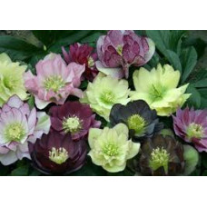 Helleborus Magic Mix