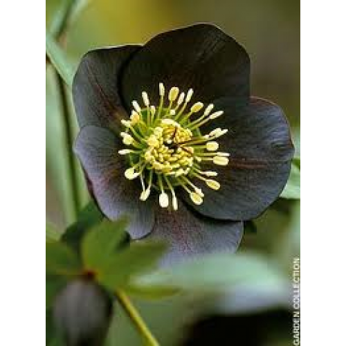 helleborus orientalis nigra for sale