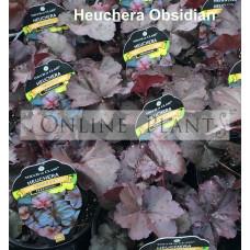 Heuchera Obsidian