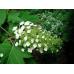 Hydrangea Quercifolia (oak leaf)