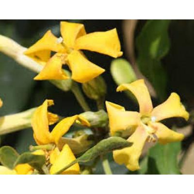 Hymenosporum Flavum Native Frangipani