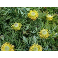 Isopogon Little Drumsticks