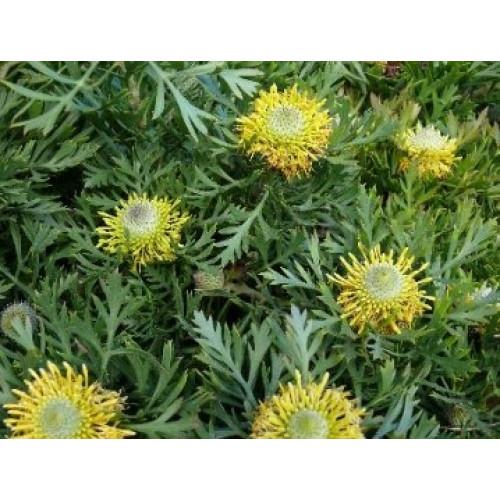 Isopogon Little Drumsticks For Sale Online Plants Australia