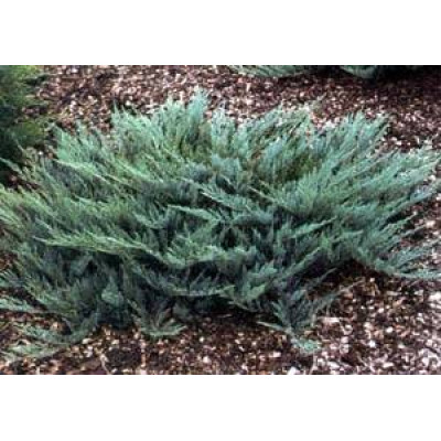 Juniperus Blue Carpet