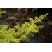 Juniperus Conferta All Gold