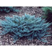 Juniperus Horizontalis Blue Rug