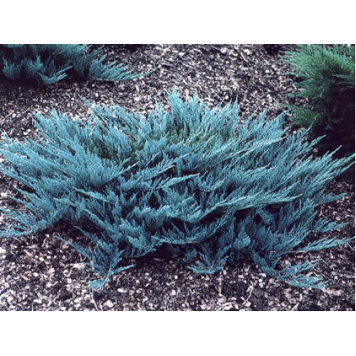 Juniperus Horizontalis Blue Rug Online Plants Melbourne