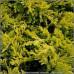 Juniperus Horizontalis Mother Lode